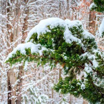 aceite esencial enebro invierno