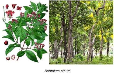 Santalum album